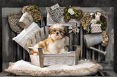 Shih Tzu in front of a rustic background — Stock Photo