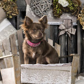 Chihuahua in front of a rustic background — Stock Photo