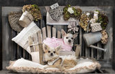 Chihuahuas in front of a rustic background — Stock Photo