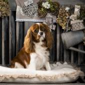 Cavalier King Charles in front of a rustic background — Stock Photo