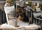 Yorkshire terrier in front of a rustic background — Stock Photo