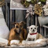 Chihuahua and Italian greyhound in front of a rustic background — Stock Photo