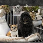 Chihuahua and poodle in front of a rustic background — Stock Photo