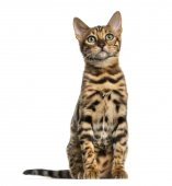 Young Bengal cat sitting (5 months old), isolated on white — Stock Photo