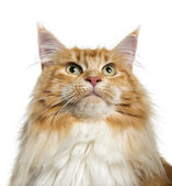 Maine Coon looking up (3 years old) — Stock Photo