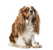 Cavalier King Charles Spaniel (4 years old) — Stock Photo