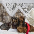 Dachshunds in front of a Christmas scenery — Stock Photo #64392967