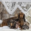 Dachshunds in front of a Christmas scenery — Stock Photo #64392975