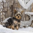 Yorkshire terrier in front of a Christmas scenery — Stock Photo #64393045