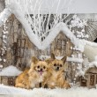 Chihuahuas in front of a Christmas scenery — Stock Photo #64394303