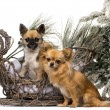 Two chihuahuas in front of a Christmas scenery — Stock Photo #64394713