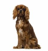 Cavalier King Charles Spaniel (8 months old) — Stock Photo