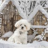 Maltese in front of a Christmas scenery — Stock Photo
