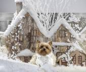 Yorkshire terrier in front of a Christmas scenery — Stok fotoğraf