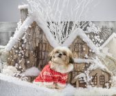 Shih Tzu in front of a Christmas scenery — Stock Photo