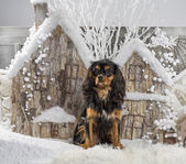 Cavalier King Charles Spaniel in front of a Christmas scenery — Stock Photo