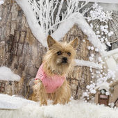Cairn terrier in front of a Christmas scenery — Stock Photo