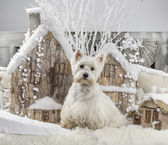 West Highland White Terrier in front of a Christmas scenery — Stock Photo