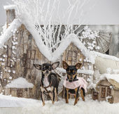 Chihuahuas in front of a Christmas scenery — 图库照片