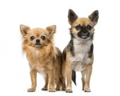 Two chihuahuas — Stock Photo