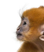 Close-up of a baby Francois Langur (1 month) — Stock Photo
