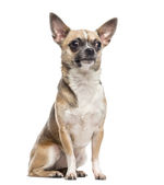 Chihuahua (1 year old) — Stock Photo
