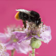 Red-tailed bumblebee, Bombus lapidarius, foraging on a flower in — Stock Photo #71772107