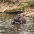 Hippos mating in river, Serengeti, Tanzania, Africa — Stock Photo #71774951