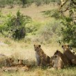 Pride of lions resting — Stock Photo #71779245