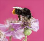 Red-tailed bumblebee, Bombus lapidarius, foraging on a flower in — Stock Photo