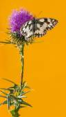 Marbled white, Melanargia galathea, on a thistle in front of an  — Stock Photo