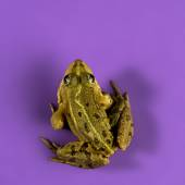 Common Water Frog in front of a purple background — Stock Photo