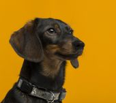 Dachshund (9 years old) in front of an orange background — Stock Photo