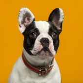 French Bulldog (1 year old) in front of an orange background — Stock Photo
