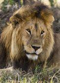 Close-up of a Lion, Serengeti, Tanzania, Africa — Foto Stock