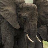 Primo piano di un'elefante, Serengeti, Tanzania, Africa — Foto Stock