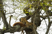 Leopard in a tree with its prey, Serengeti, Tanzania, Africa — Fotografia Stock