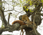 Leopard in a tree with its prey, Serengeti, Tanzania, Africa — Stock Photo