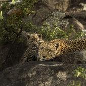 Leoprad i jej szczeniaki spoczywa na skały, Serengeti, Tanzania, Afri — Zdjęcie stockowe
