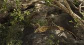 Leoprad and her cubs resting on rocks, Serengeti, Tanzania, Afri — Stock Photo