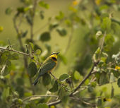 Little bee-eater, Merops pusillus, perched on a branch, Serenget — Stock Photo
