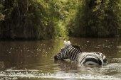 Zebra drinking in a river, Serengeti, Tanzania, Africa — Foto de Stock
