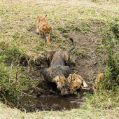 Dirty lioness and cubs drinking, Serengeti, Tanzania, Africa — Stock Photo