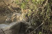 Lioness holding its prey in a muddy river, Serengeti, Tanzania,  — Stock Photo