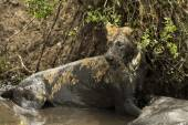 Lioness lying next to its prey in a muddy river, Serengeti, Tanz — Stock Photo