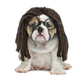 English bulldog puppy wearing a dreadlocks wig and glasses in fr — Stock Photo