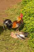 Rooster on the lawn, Kauai — Stock Photo