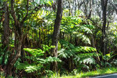 Undergrowth in Big Island, Hawaii — Stock Photo