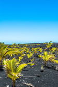Seedlings on the lava field, Hawaii — Stock Photo
