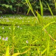 Aquatic vegetation in the pond, Hawaii — Stock Photo #69830365